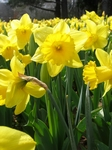 Narcis, Narcissus