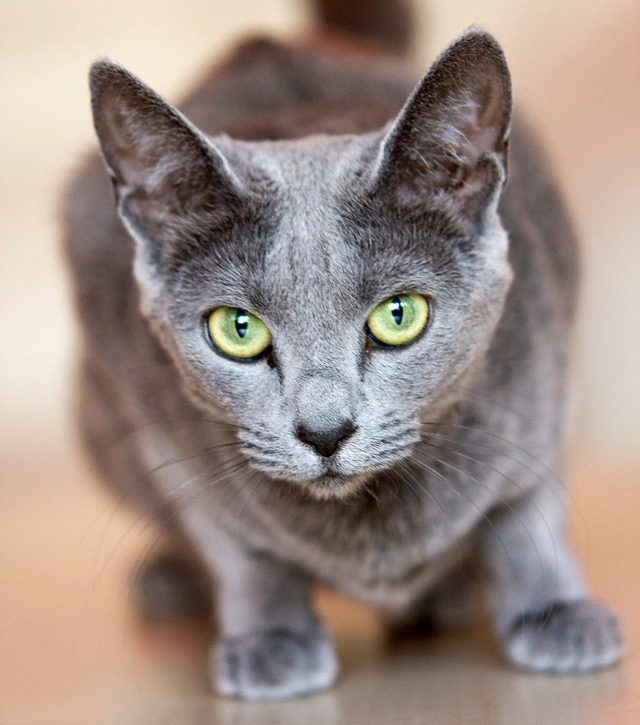 02ba8f5e0 Ruská modrá kočka - Plemena - Modrý kocouř.cz