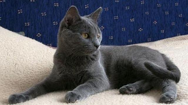 těsná bezsrstá kočička